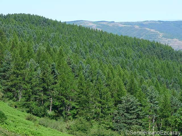 Bosque formado por pinos silvestres (verde oscuro) y alerce