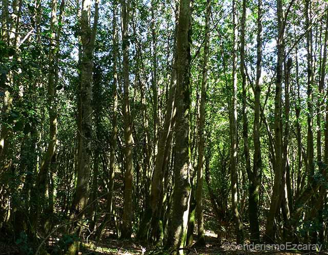 Bosque de acebos